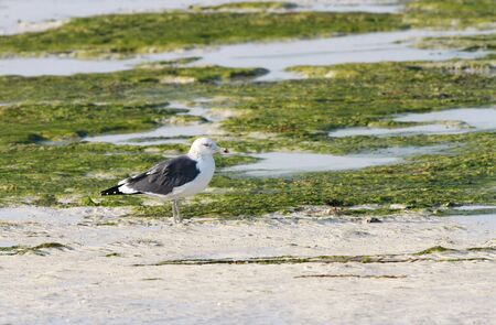 bipedal: Beautiful seagull in green during low tide