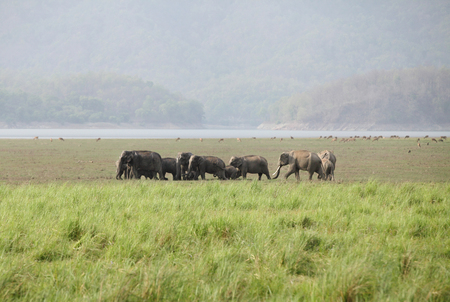 Elephants grazing in the grassland of Dhikala