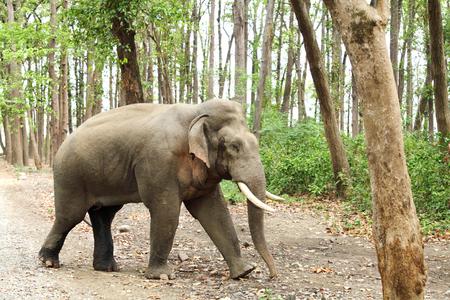tusk: Tusker with big tusk