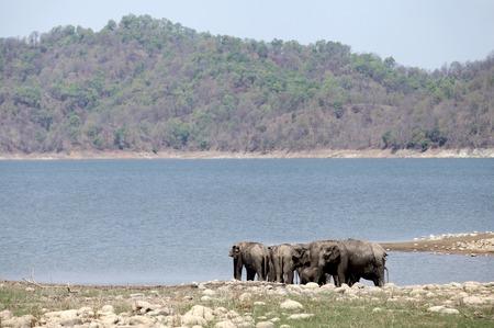 taking bath: Asiatic elephants taking bath in Ramganga reservoir, Jim Corbett