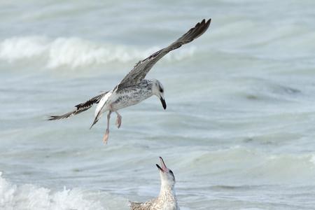 bipedal: Heuglins gull in quarreling