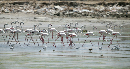 strong skeleton: great flamingos  in the low tidal water