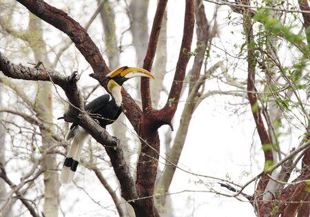 coraciiformes: The great Hornbill in Jhirna forest Jim Corbett Stock Photo