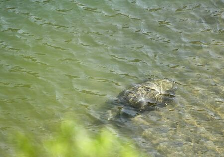 burrows: A turtle under the water in Ramganga river Stock Photo