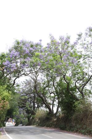 lamiales: Beautiful Jacaranda trees along road side near Nainital