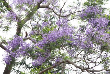 lamiales: Beautiful purple flowers of Jacaranda