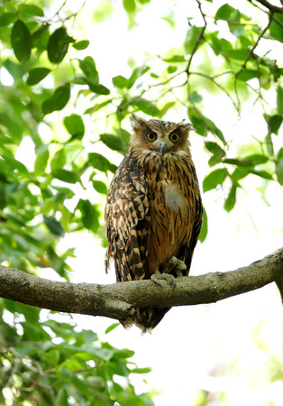 tawny owl: Tawny Fish Owl with all the three eyelid open