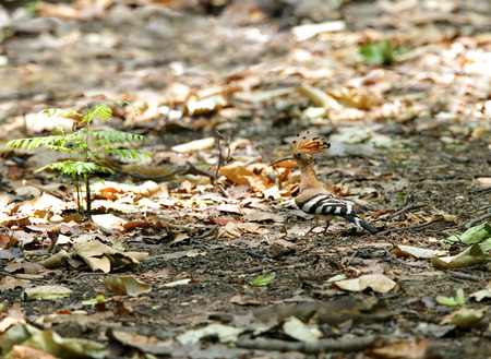 coraciiformes: Beautiful hoopoe perched on the ground