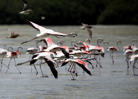 strong skeleton: Beautiful great flamingos flying in flock, Bahrain