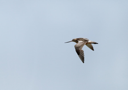 charadriiformes: bartailed godwit in the sky Stock Photo