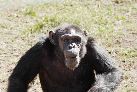 A Chimpanzee in Ol Pejeta Conservancy Chimpanzee Sanctuary Reklamní fotografie