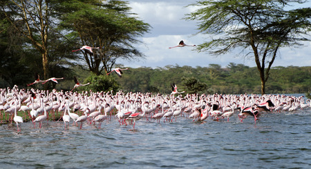 flamenco ave: Lesser Flamingos on the land stretching in the lake Foto de archivo