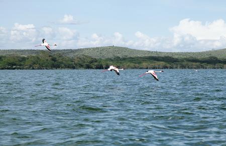 heterotrophs: Lesser Flamingos flying over the lake Stock Photo
