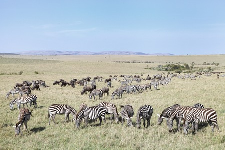 wildebeest: Beautiful landscape with Zebras and Wildebeest grazing