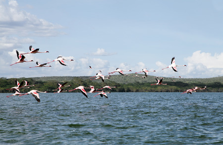 strong skeleton: Lesser Flamingos at Lake Naivasha