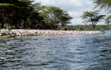 strong skeleton: Lesser Flamingos on the bank of Lake Naivasha