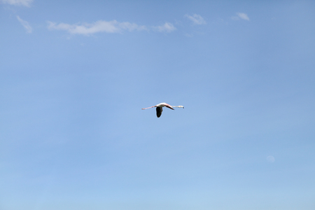A lone Lesser Flamingo in blue sky Stock Photo