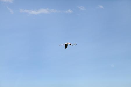 heterotrophs: A lone Lesser Flamingo in blue sky Stock Photo