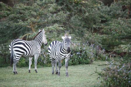 naivasha: Beautiful Zebras near Naivasha lake