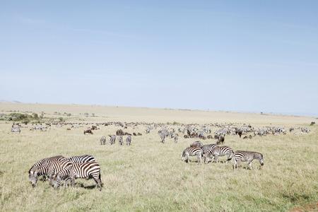 masai mara: Beautiful Zebras and wildebeests at Masai Mara National Park, Kenya