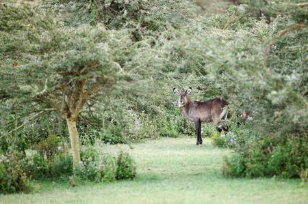 and diurnal: A beautiful Waterbuck peeping from the bush