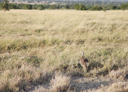 high metabolic rate: A beautiful Black-Bellied Bustard in the grassland