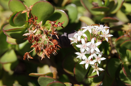crassula ovata: Beautiful Jade plant flowers Stock Photo