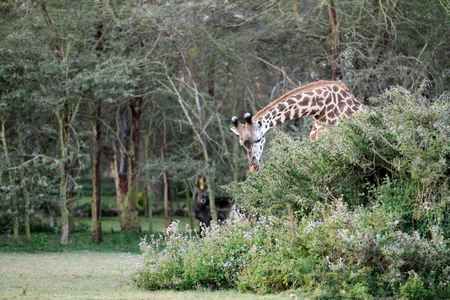 naivasha: A Giraffe eating the leaves