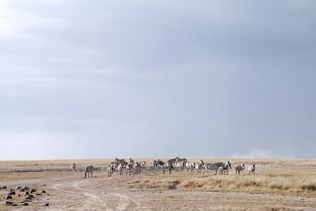 the water hole: Zebras near a water hole in Ol Pejeta Conservancy, Kenya