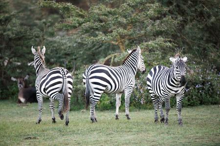 naivasha: Zebras near Naivasha lake Stock Photo