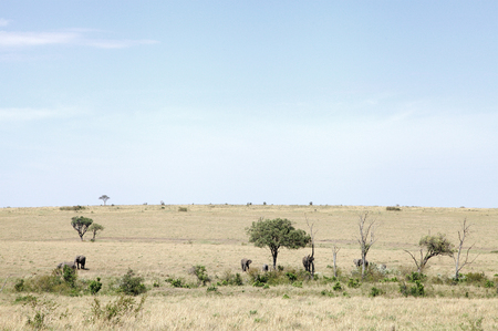 masai mara: Elephants in its habitat, savannah grassland of Masai Mara
