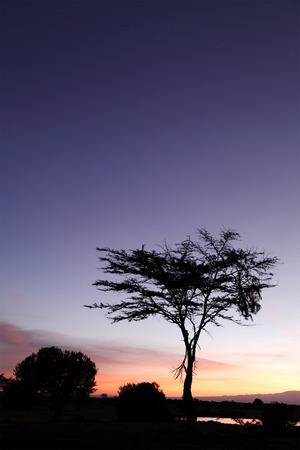 acacia tree: Beautiful Acacia tree at Sunrise Stock Photo