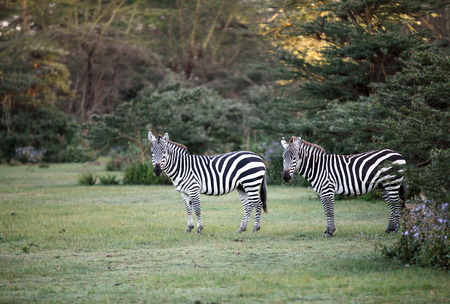 naivasha: Two Zebras near Naivasha lake
