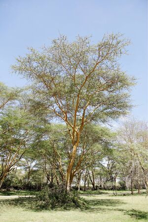weaver bird nest: A beautiful fever tree in kenya