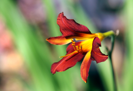 dark red: A beautiful dark red yellow lily