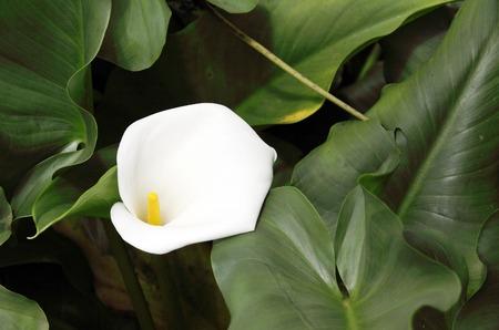 White Callas: Un hermoso lirio blanco Callas