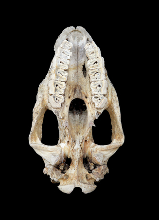 poach: The Lower jaw of the Rhino skull Stock Photo