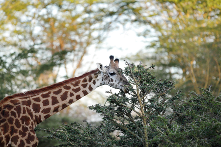 girafe: Giraffe feeding leaves