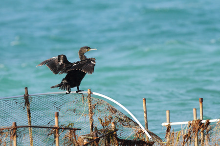 suliformes: Cormorant drying its wings