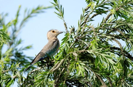 coraciiformes: Beautiful Indian roller perched on tree Stock Photo