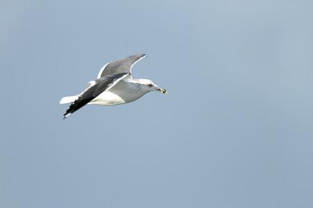 headed: white headed seagull in flight