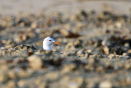 white headed: Beautiful white headed seagull raising its head from sand heap Stock Photo