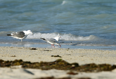 bipedal: Seagulls on the bank of the ocean