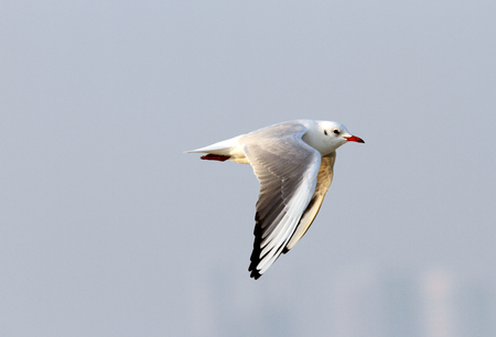 bipedal: Beautiful seagull with wings down during flight Stock Photo
