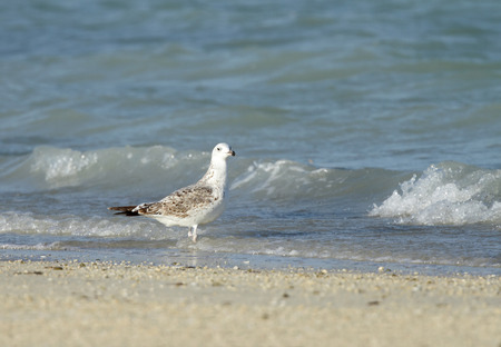 bipedal: A beautiful seagull on the sand