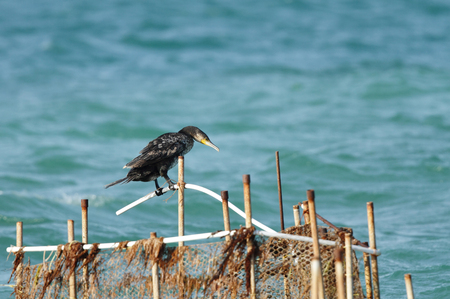 phalacrocoracidae: A beautiful Cormorant sitting on fishing net