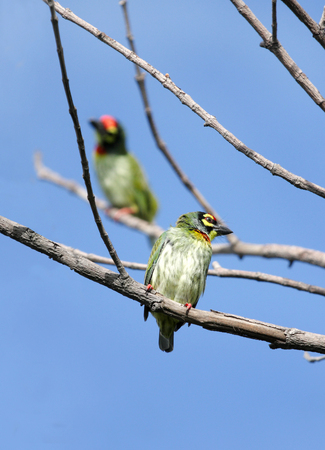 fruit eater: Pair of Coppersmith Barbet birds