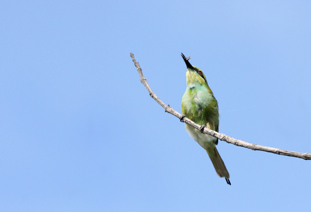coraciiformes: A beautiful green bee-eater with prey
