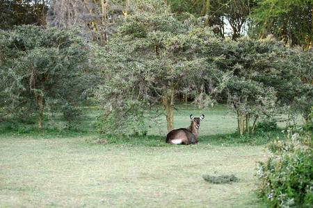 lake naivasha: A waterbuck relaxing in the jungle near lake Naivasha