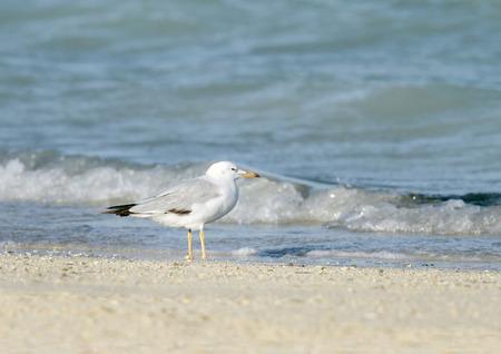 bipedal: Beautiful white headed seagull near the sea